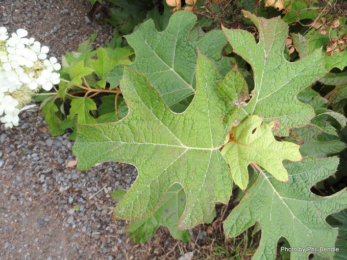 Hydrangea quercifolia Oakleaf hydrangea -010.JPG