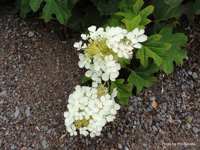 Hydrangea quercifolia Oakleaf hydrangea -012.JPG