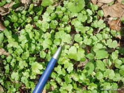 Phil Bendle Collection:Hydrocotyle microphylla (A native hydrocotyle)