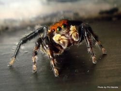 Phil Bendle Collection:Jumping spider (Hypoblemum albovittatum) House hopper
