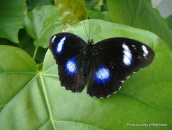 Phil Bendle Collection:Blue Moon Butterfly (Hypolimnas bolina nerina)