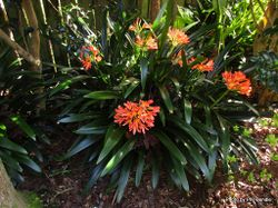Phil Bendle Collection:Clivia miniata (Natal lily)