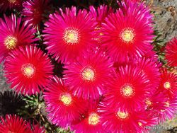 Phil Bendle Collection:Carpobrotus spp. (Ice Plant )