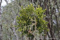 Phil Bendle Collection:Ileostylus micranthus (Green mistletoe)