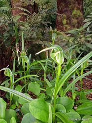 Phil Bendle Collection:Pterostylis aff montana (Greenhood)