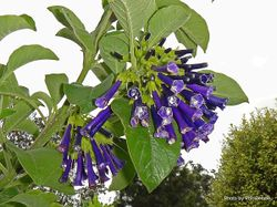 Phil Bendle Collection:Iochroma cyaneum (Violet Churcu)