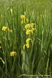 Phil Bendle Collection:Iris pseudacorus (Yellow flag iris)