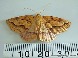 Phil Bendle Collection:Ischalis variabilis (Oblique-waved fern looper moth)