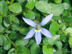 Phil Bendle Collection:Isotoma fluviatilis (Blue Star Creeper)