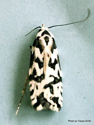 Phil Bendle Collection:Izatha churtoni (Lichen moth)