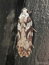 Phil Bendle Collection:Izatha mesoschista (Lichen moth)