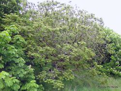 Phil Bendle Collection:Juglans ailantifolia (Japanese walnut)