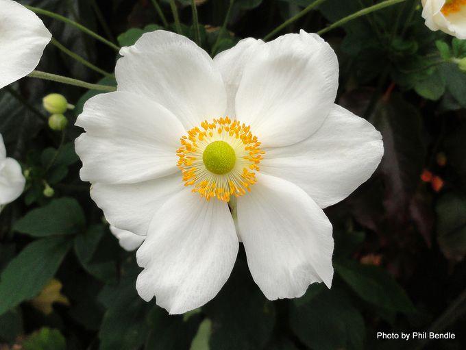Japanese anemone Anemone × hybrida Honorine Jobert -001.JPG