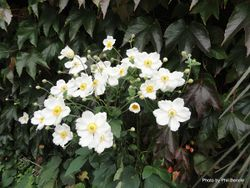 Phil Bendle Collection:Anemone × hybrida (Japanese anemone Honorine Jobert