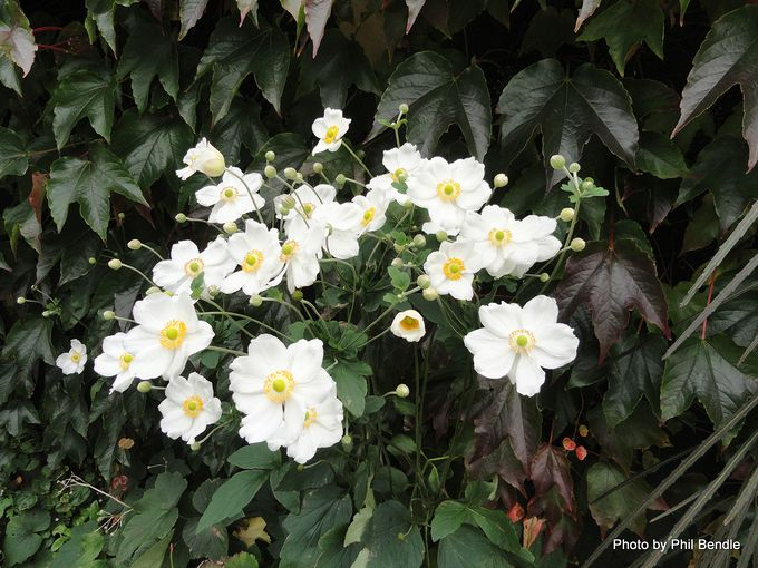 Japanese anemone Anemone × hybrida Honorine Jobert .JPG