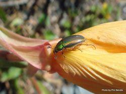 Phil Bendle Collection:Beetle (Jewel) Genus Pyronota