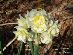 Phil Bendle Collection:Narcissus (Jonquils)