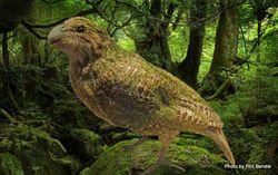 Phil Bendle Collection:Kakapo (Strigops habroptilus)