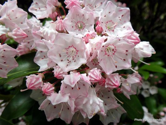 Kalmia latifolia Mountain-laurel.JPG