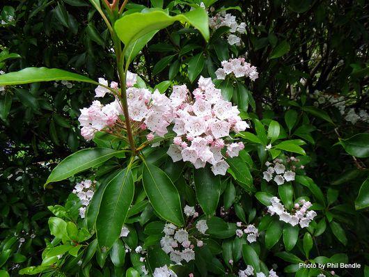 Kalmia latifolia Mountain-laurel 2 .JPG
