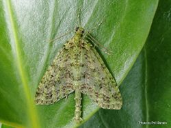 Phil Bendle Collection:Tatosoma tipulata (Kamahi green spindle moth)
