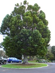 Phil Bendle Collection:Agathis australis (Kauri)