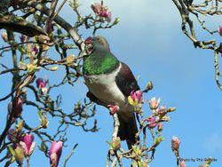 Phil Bendle Collection:Pigeon (NZ Wood Pigeon) Hemiphaga novaeseelandiae