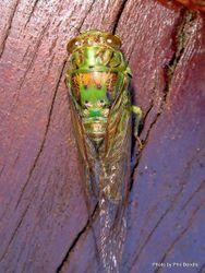 Phil Bendle Collection:Cicada (Kikihia scutellaris)