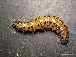 Phil Bendle Collection:Caterpillar of the Kowhai moth (Uresiphita polygonalis maorialis)