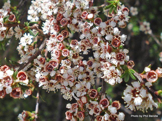 Kunzea ericoides Kanuka flowers 1.JPG