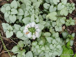 Phil Bendle Collection:Lamium maculatum White Nancy