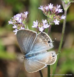 Phil Bendle Collection:Long-tailed Blue butterfly (Lampides boeticus)