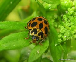 Phil Bendle Collection:Labybird (Large spotted) Harmonia conformis