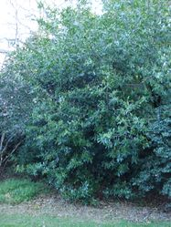 Phil Bendle Collection:Prunoideae laurocerasus (Laurel Tree))