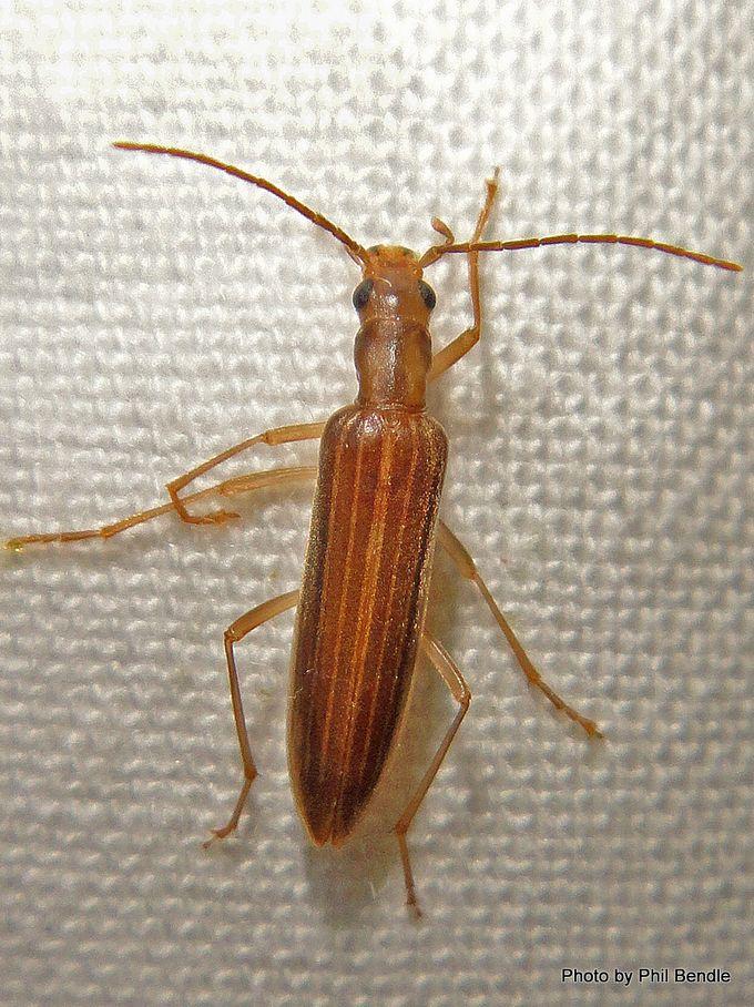 Lax beetle Oedemeridae 2 .JPG