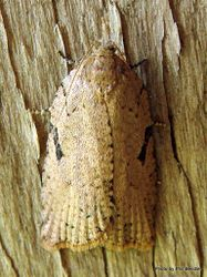 Phil Bendle Collection:Tortricidae family (Tortix moths) Unidentified