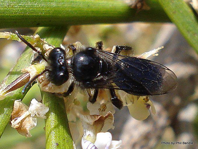 Leioproctus bee.jpg