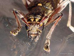 Phil Bendle Collection:Beetle (Lemon tree borer) Oemona hirta