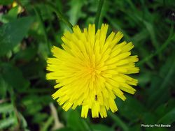Phil Bendle Collection:Leontodon taraxacoides (Lesser Hawkbit)