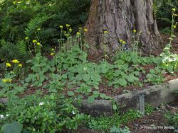 Phil Bendle Collection:Doronicum pardalianches (Leopard s-bane)