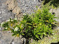 Phil Bendle Collection:Lepidium oleraceum (Cooks scurvy grass)