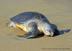 Phil Bendle Collection:Turtle (Olive ridley) Lepidochelys olivacea