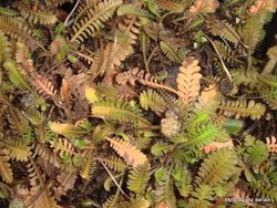 Phil Bendle Collection:Leptinella dioica (Bachelors buttons)