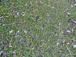 Phil Bendle Collection:Leptinella filiformis (Slender button daisy)