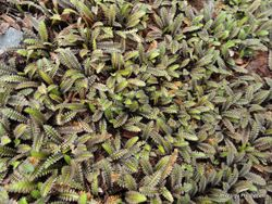 Phil Bendle Collection:Leptinella pusilla (Purple Brass Buttons)