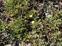 Phil Bendle Collection:Leptinella pyrethrifolia (Mountain pincushion)