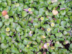 Phil Bendle Collection:Leptinella rotundata (Northland button daisy)