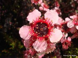 Phil Bendle Collection:Trees (New Zealand Native) Leptospermum hybrids & cultivars with photos