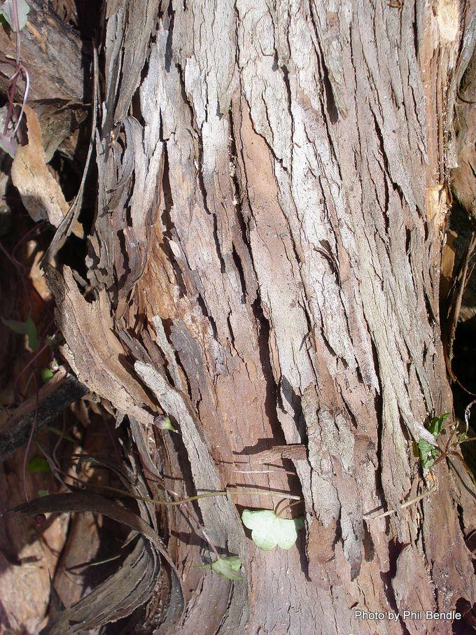 Leptospermum scoparium Manuka-007.JPG