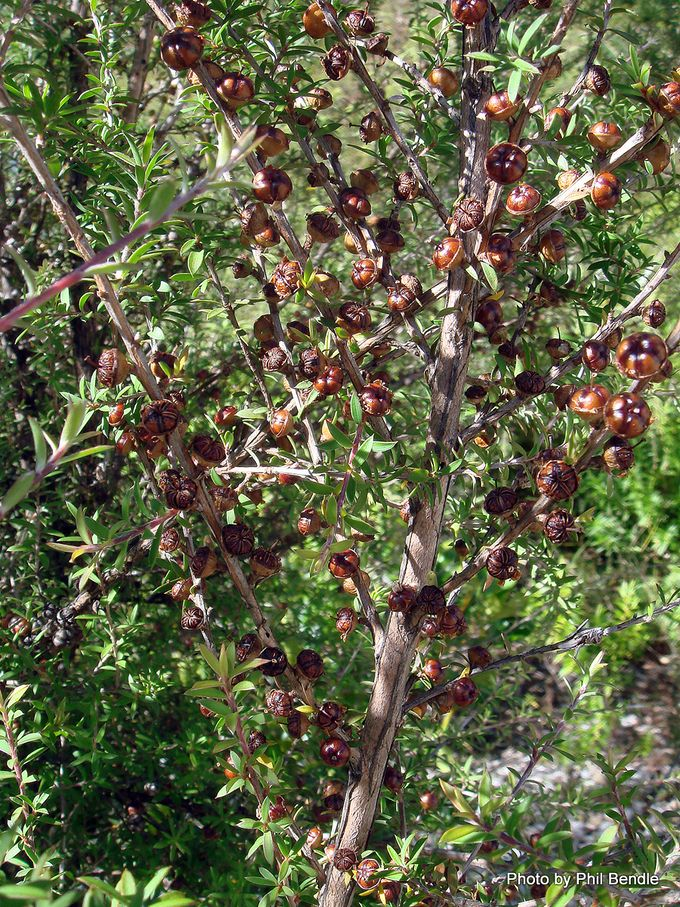 Leptospermum scoparium Manuka -002.JPG